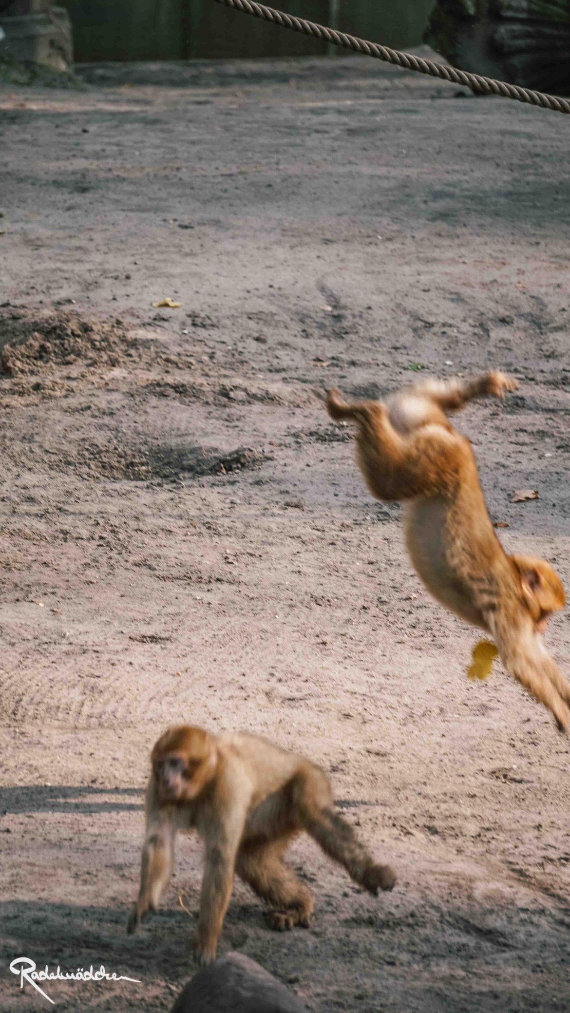 Berberaffen im Berliner Tierpark